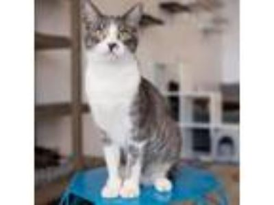 Adopt Manny a Domestic Short Hair