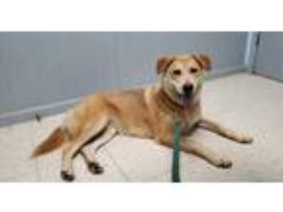 Adopt Ruby a Red/Golden/Orange/Chestnut Husky / Mixed dog in Benton