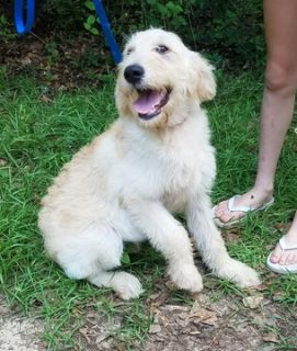 Labradoodle PUPPY FOR SALE ADN-78721 - Shumari