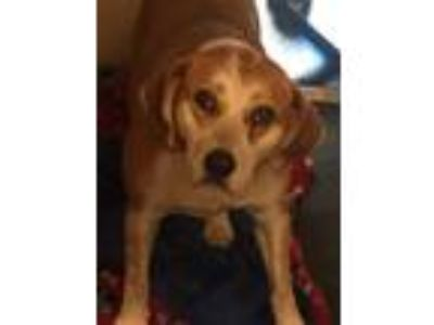 Adopt Jo Ellen a Labrador Retriever, Collie