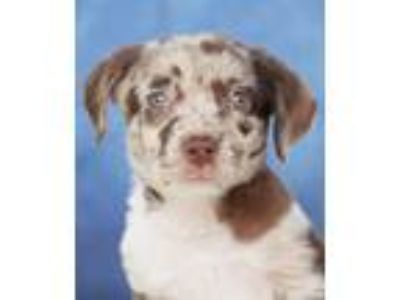 Adopt Dotty a Merle Catahoula Leopard Dog / Mixed dog in Encinitas