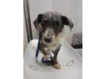 Adopt Toby a Dachshund, Mixed Breed