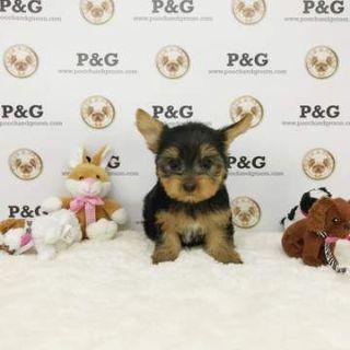 Yorkshire Terrier PUPPY FOR SALE ADN-71865 - Yorkshire Terrier Rachel Female