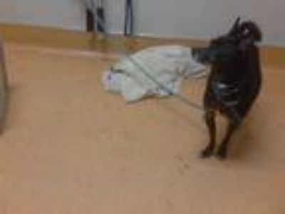 Adopt HORUS a Black - with White Miniature Pinscher / Mixed dog in Martinez