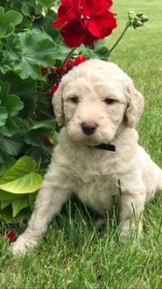 Goldendoodle PUPPY FOR SALE ADN-79327 - 2nd generation Goldendoodles  WILL SHED LESS