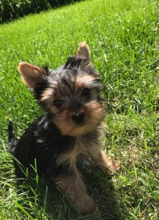 Hypo allergic non shading Female Yorkie
