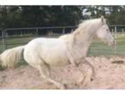 AQHA Perlino gelding SO mellow patient loving willing