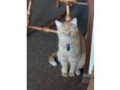 Adopt Snowball a Orange or Red Domestic Longhair / Mixed cat in Scottsburg