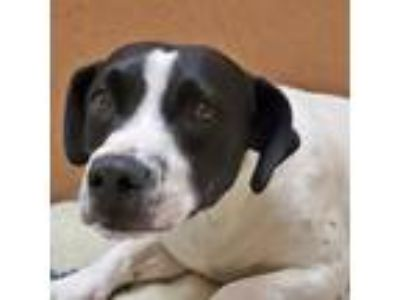Adopt Burkle a White Labrador Retriever / American Pit Bull Terrier / Mixed dog
