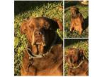 Adopt charlie a Brown/Chocolate Labrador Retriever / Mixed Breed (Large) / Mixed