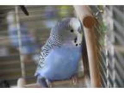 Adopt WES MONTGOMERY a Blue Budgie / Mixed bird in Dedham, MA (25013773)