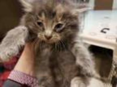 Adopt LOLA a Domestic Medium Hair