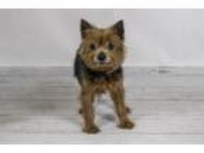 Adopt ASH a Yorkshire Terrier, Mixed Breed