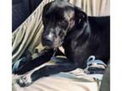 Adopt PHAROAH a Black - with White Labrador Retriever / American Staffordshire