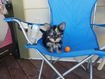 Morkie PUPPY FOR SALE ADN-96089 - Micro Teacup Morkie Boy