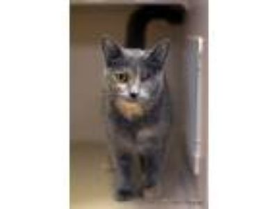 Adopt Tippy a Tortoiseshell American Shorthair (short coat) cat in East