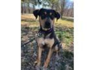 Adopt Kasha a Black Doberman Pinscher / Mixed dog in Morton Grove, IL (24736733)