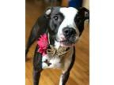 Adopt Molly Phoenix a Black - with White American Pit Bull Terrier dog in
