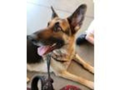 Adopt Sydney a German Shepherd Dog