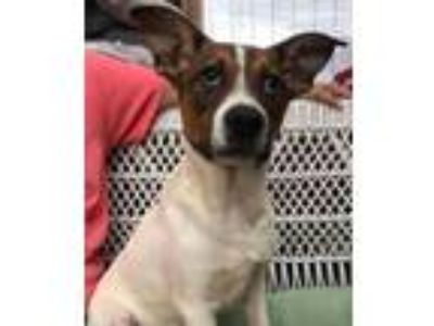 Adopt Abner a Collie, Jack Russell Terrier