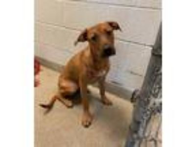 Boxer - Dogs for Adoption Classifieds in Romeoville