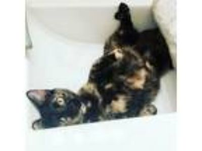 Adopt Victoria a Tortoiseshell Domestic Shorthair (short coat) cat in NYC
