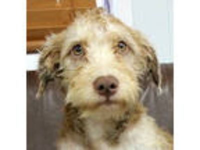 Adopt Magical Madigan a Terrier, Poodle