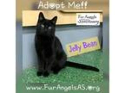 Adopt Jelly Bean a All Black Domestic Shorthair / Mixed (short coat) cat in