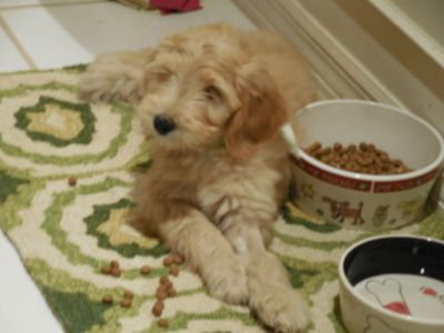 Goldendoodle PUPPY FOR SALE ADN-92223 - Goldendoodle Puos