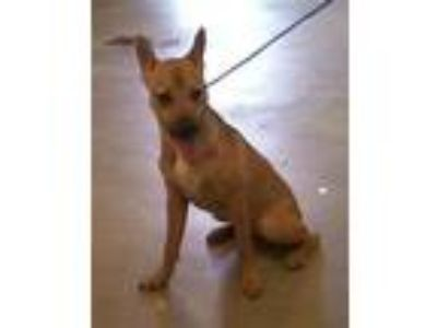 Adopt JULIANA a Brown/Chocolate - with White German Shepherd Dog / Mixed dog in