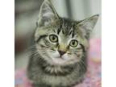 Adopt Hermione a Domestic Shorthair / Mixed cat in Mipiltas, CA (25317496)