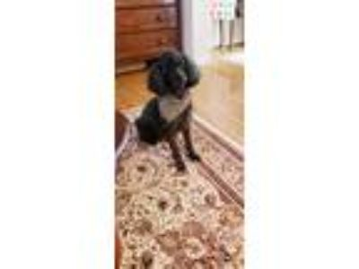 Adopt Geordi a Black - with White Poodle (Miniature) dog in Abingdon