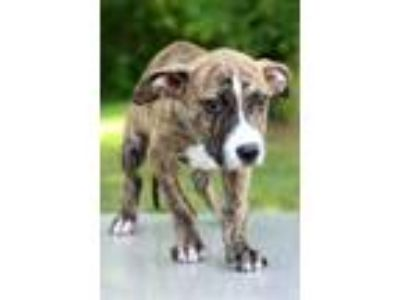 Adopt Micah a Brindle - with White Plott Hound / Pit Bull Terrier / Mixed dog in