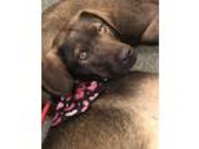 Adopt Molly a Labrador Retriever, German Shepherd Dog