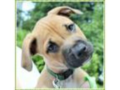 Adopt Calliope Puppy - Available July 14th a Boxer, Pit Bull Terrier