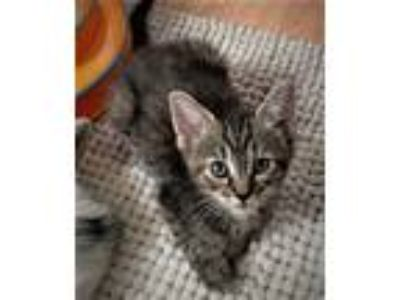 Adopt Kitten Lydia a Brown Tabby Domestic Shorthair / Mixed (short coat) cat in