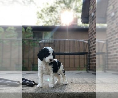 Poodle (Toy)-Sheepadoodle Mix PUPPY FOR SALE ADN-131386 - Mini F1b Sheepadoodle Puppies