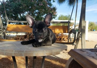 French Bulldog PUPPY FOR SALE ADN-99817 - AKC French Bulldog Boy