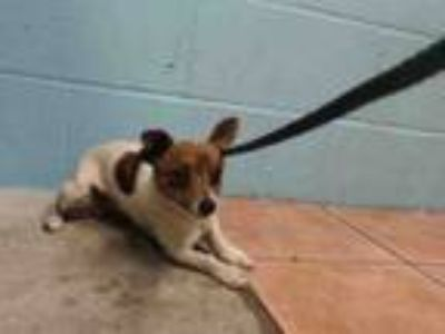 Adopt CHIQUITA a Rat Terrier, Mixed Breed