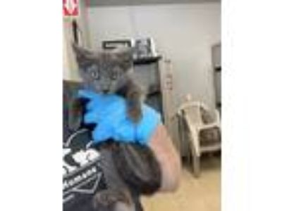 Adopt Cooper a Gray or Blue Domestic Shorthair / Domestic Shorthair / Mixed cat