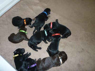 F1 Labradoodle puppies