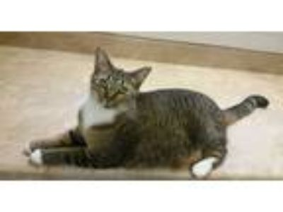Adopt Corbin a Domestic Shorthair / Mixed cat in Greenville, SC (20177007)