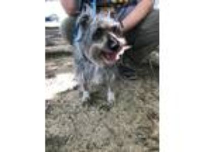 Adopt Toby Scruffy 9 year old 14 pounds of Adorable a Gray/Silver/Salt & Pepper
