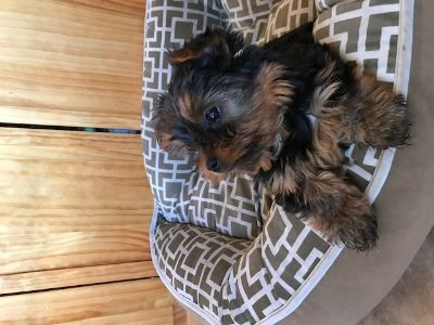 Yorkshire Terrier PUPPY FOR SALE ADN-91034 - Beaultiful full breed puppy