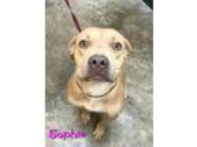 Adopt Sophie a Red/Golden/Orange/Chestnut Pit Bull Terrier / Mixed dog in