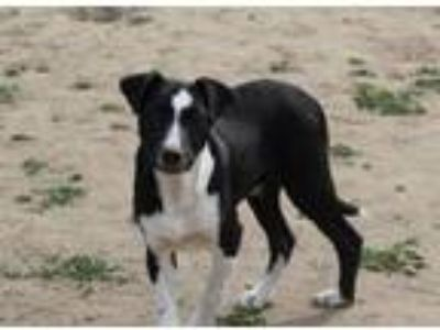 Adopt Fremont ( F Litter pup ) a Border Collie