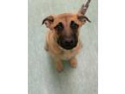 Adopt Lucy Lou a Tan/Yellow/Fawn German Shepherd Dog / Mastiff / Mixed dog in