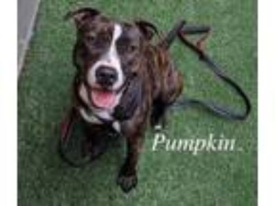 Adopt Pumpkin a Brindle American Pit Bull Terrier / Mixed dog in Lewisville