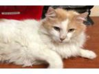 Adopt Fluffy a White Domestic Mediumhair / Domestic Shorthair / Mixed cat in