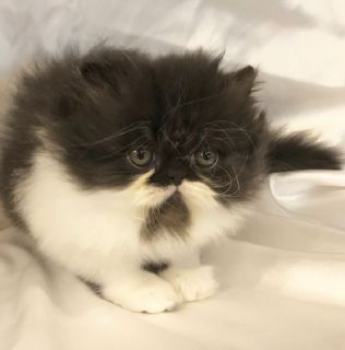 Persian Kittens Looking for a Forever Home